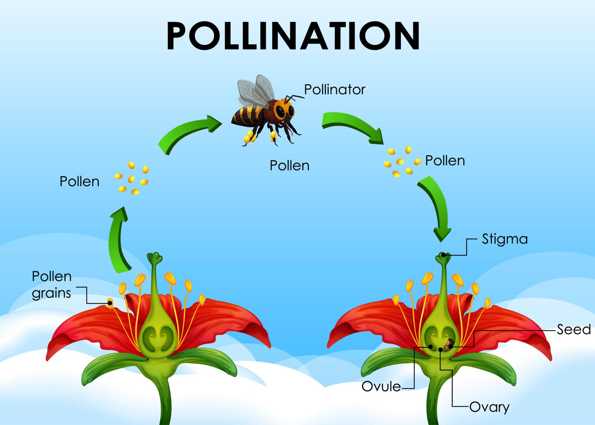 pollen en stuifmeel